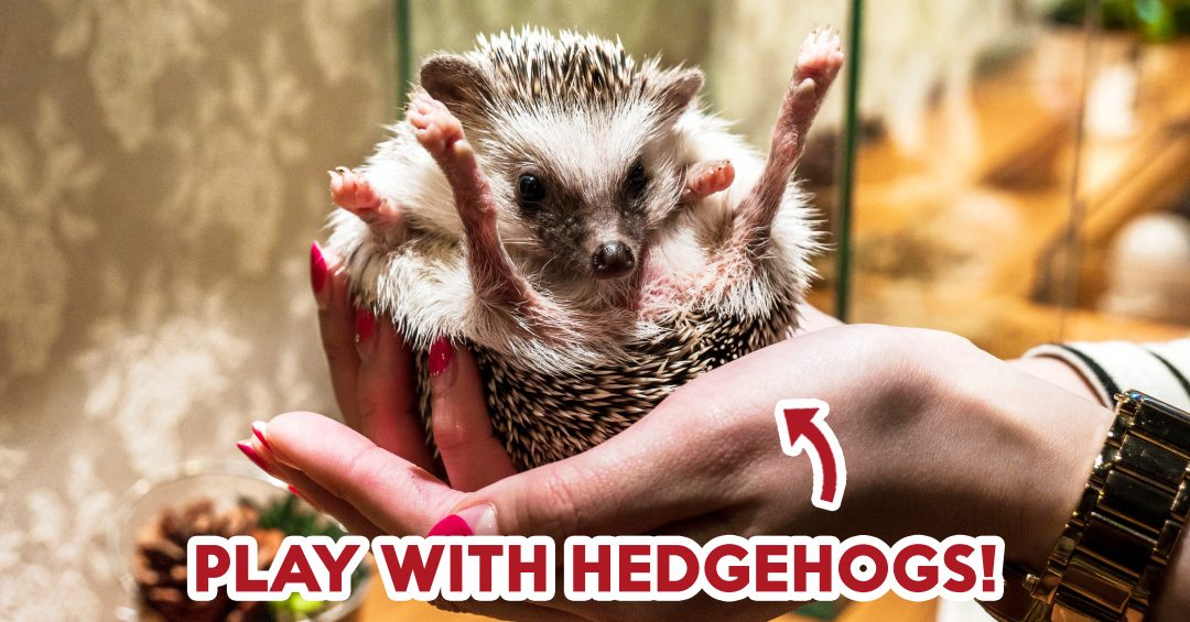 HEDGEHOG CAFE (JAPAN)-ft