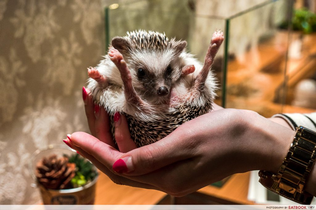 HEDGEHOG CAFE (JAPAN)-hold