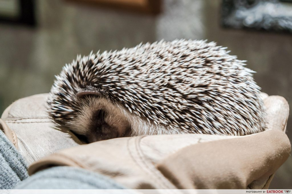 HEDGEHOG CAFE (JAPAN)-sleep
